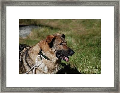 German Shepherd Dog Laying Down Framed Print by DejaVu Designs