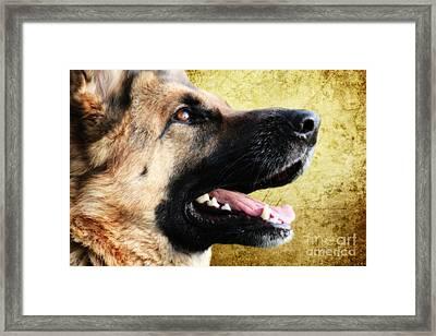 German Shepherd Portrait Framed Print by Stephen Smith