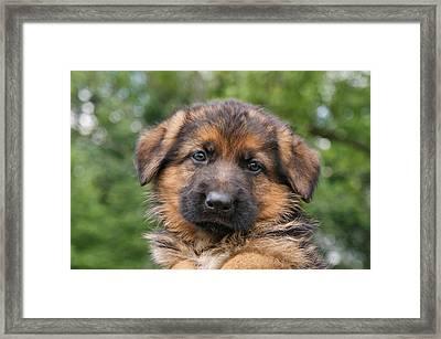 German Shepherd Puppy II Framed Print by Sandy Keeton
