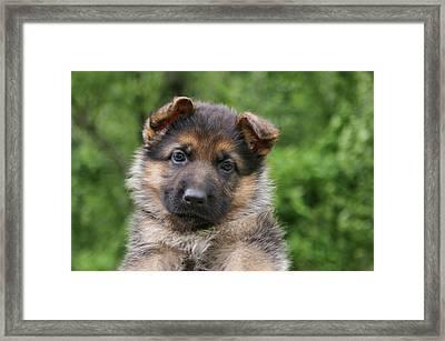 German Shepherd Puppy IIi Framed Print by Sandy Keeton