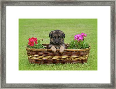 German Shepherd Puppy In Basket Framed Print by Sandy Keeton