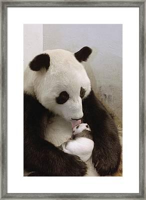Giant Panda Ailuropoda Melanoleuca Xi Framed Print by Katherine Feng