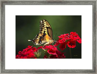 Giant Swallowtail Butterfly Framed Print by Christina Rollo