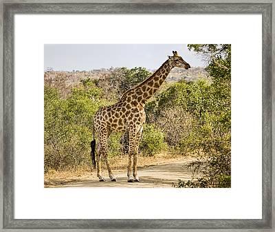 Giraffe Grazing Framed Print by Stephen Stookey