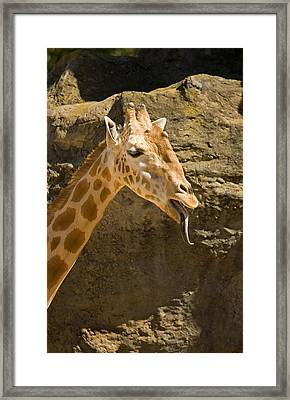 Giraffe Raspberry Framed Print by Mike  Dawson