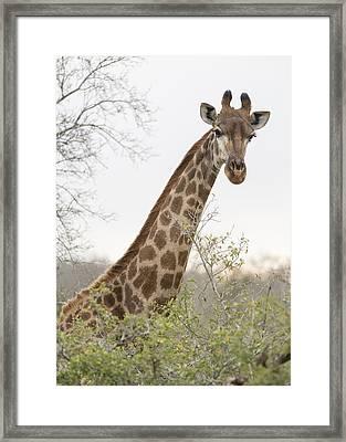 Giraffe Framed Print by Stephen Stookey