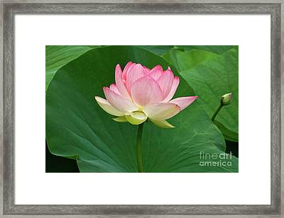Glorious Beauty Of The Lotus Framed Print by Byron Varvarigos
