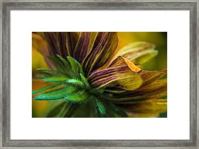 Glorious Rudbeckia Daisy Framed Print by Julie Palencia