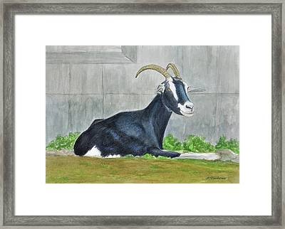 Goat On The Farm Framed Print by Phyllis Tarlow
