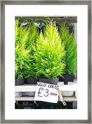 Gold Crest Plants Framed Print by Tom Gowanlock