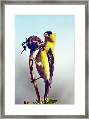 Gold Finch On Dried Zinnia Framed Print by Geraldine Scull
