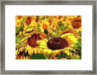 Gold Finch On Sunflower 11 Framed Print by Geraldine Scull