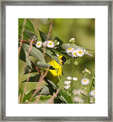 Gold Finches-7 Framed Print by Robert Pearson
