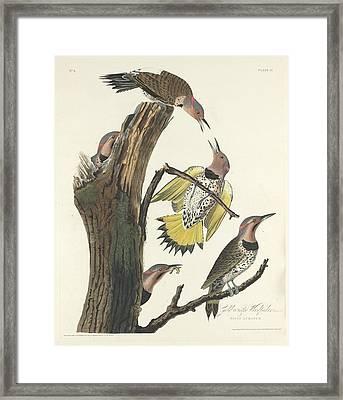 Gold-winged Woodpecker Framed Print by John James Audubon