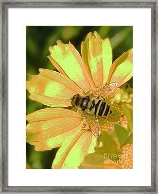 Golden Bee Framed Print by Karol Livote