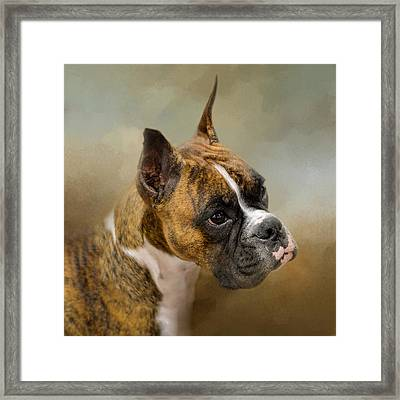 Golden Brindle Boxer Framed Print by Jai Johnson