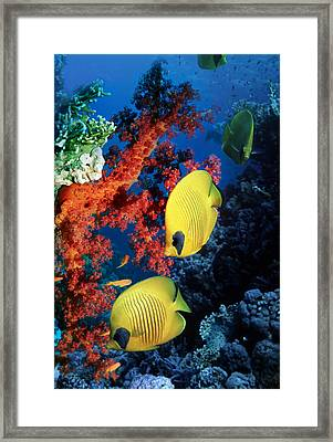 Golden Butterflyfish Framed Print by Georgette Douwma