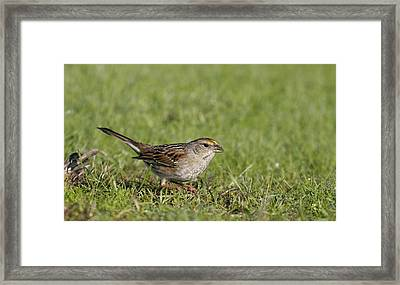 Golden-crowned Sparrow Framed Print by Andrew Johnson