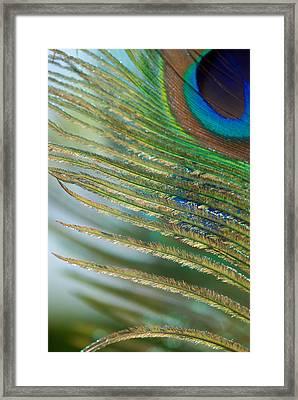 Golden Feather Framed Print by Lisa Knechtel