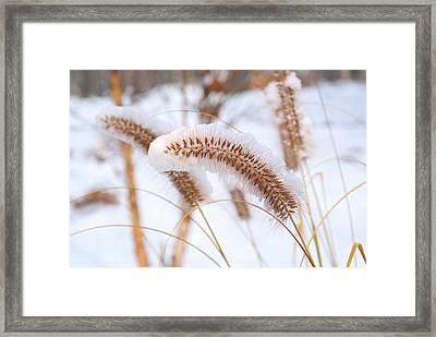 Golden Foxtail Framed Print by Douglas Barnett