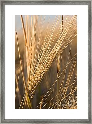 Golden Grain Framed Print by Cindy Singleton