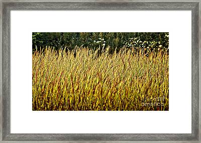 Golden Grasses Framed Print by Meirion Matthias