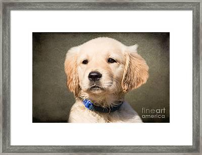 Golden Labrador Puppy Framed Print by Stephen Smith