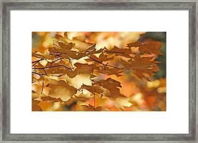 Golden Light Autumn Maple Leaves Framed Print by Jennie Marie Schell