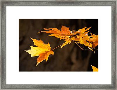 Golden Maple Arch Framed Print by Ross Powell