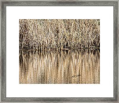 Golden Reed Reflection Framed Print by Bill Kesler