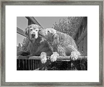 Golden Retrievers The Kiss Black And White Framed Print by Jennie Marie Schell