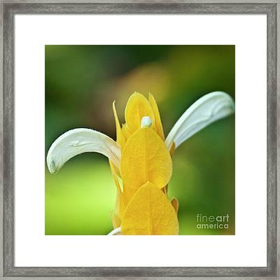 Golden Shrimp Plant Framed Print by Heiko Koehrer-Wagner