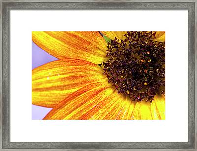 Golden Sunflower Petals Framed Print by Sean Davey