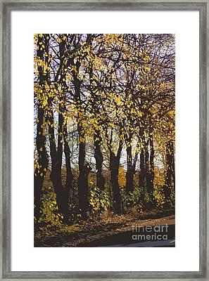 Golden Trees 1 Framed Print by Carol Lynch