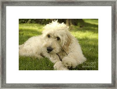 Goldendoodle Puppy And Stick Framed Print by Anna Lisa Yoder