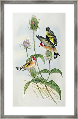 Goldfinches Framed Print by John Gould