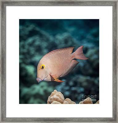 Goldring Surgeonfish  Ctenochaetus Framed Print by Thomas Kline