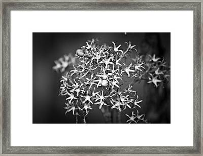 Gone To Seed Phlox Framed Print by Teresa Mucha