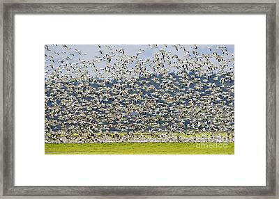 Goose Storm Framed Print by Mike Dawson