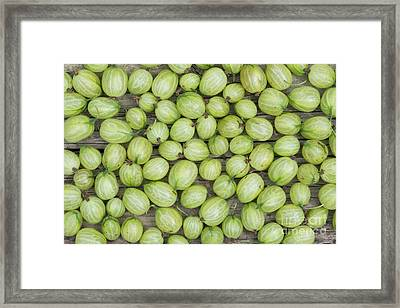 Gooseberry Harvest Framed Print by Tim Gainey