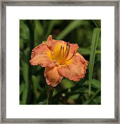 Gorgeous Daylily Framed Print by Sandy Keeton