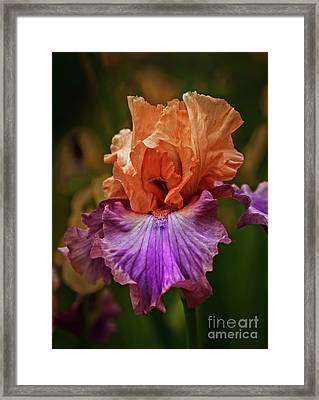 Gorgeous Iris Framed Print by Robert Bales