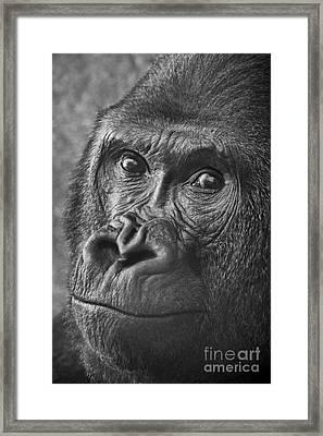 Gorilla Portrait Framed Print by Jamie Pham