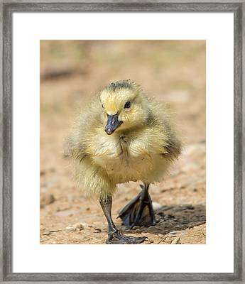 Gosling Swagger Framed Print by Loree Johnson