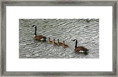 Got All Your Ducks In A Row Framed Print by David Dunham