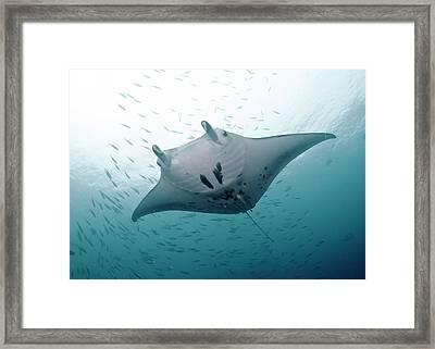 Graceful Manta Framed Print by Wendy A. Capili