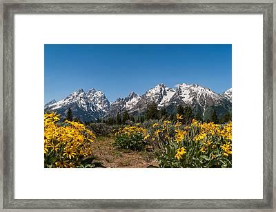 Grand Teton Arrow Leaf Balsamroot Framed Print by Brian Harig