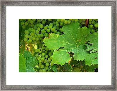 Grape Vine Heavy With Green Grapes Framed Print by Anne Keiser