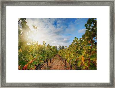 Grape Vineyard At Winery In Napa  Framed Print by Jennifer Rondinelli Reilly - Fine Art Photography