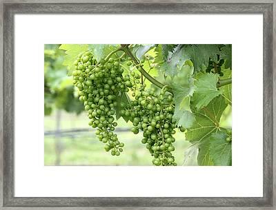 Green Vineyard Grapes Framed Print by Brian Manfra
